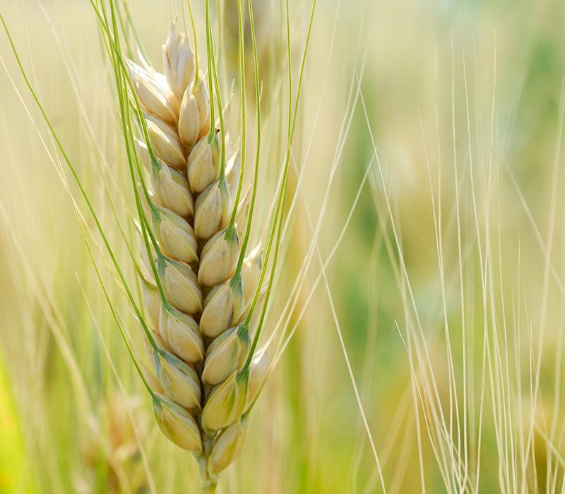 Pasta Garofalo - Les précieuses matières premières